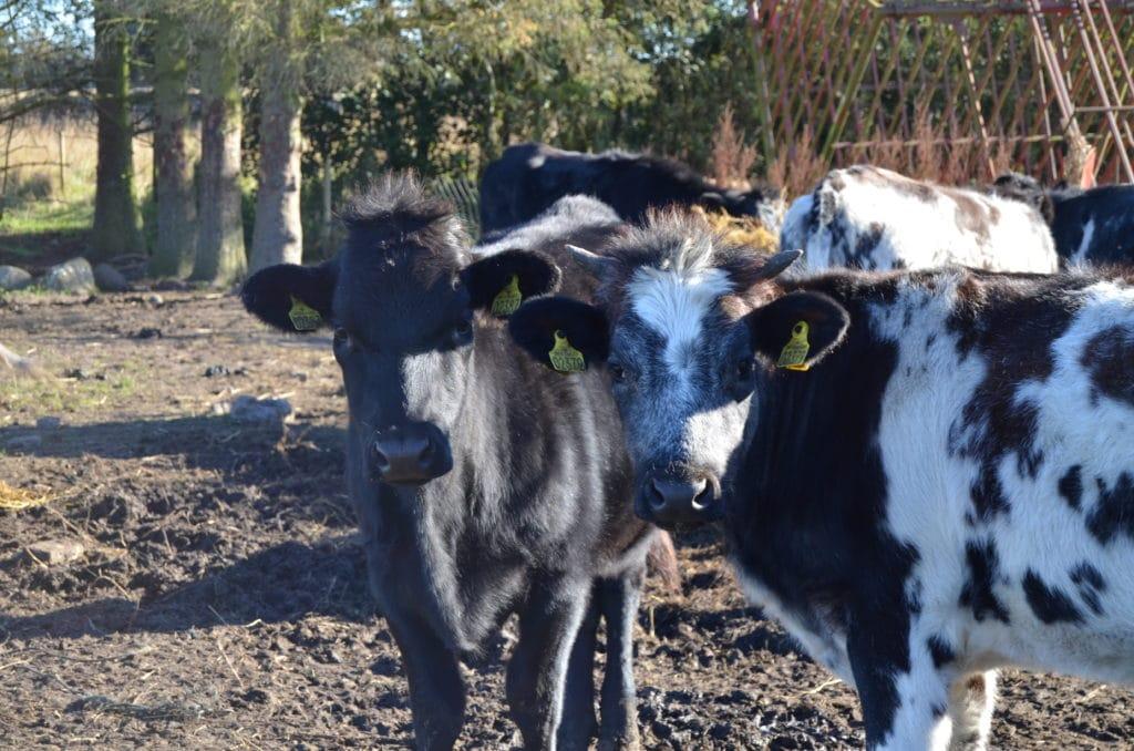 Kalve på friland